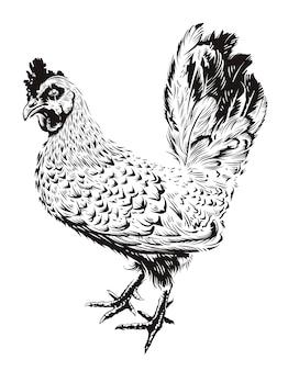 Illustrazione di gallo di vettore. gallo stile incisione. arte retrò isolato su bianco.