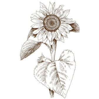 Illustrazione di incisione di girasole