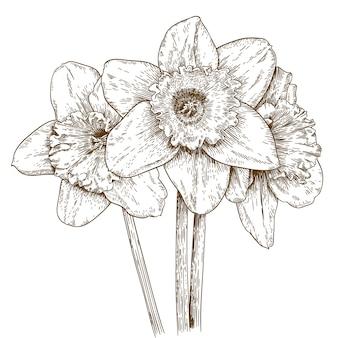 Illustrazione di incisione di narciso