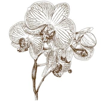 Illustrazione di incisione di orchidea