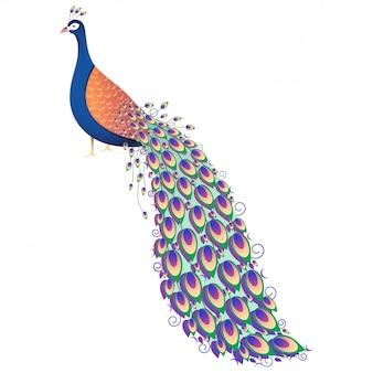 Illustrazione di pavone colorato su sfondo bianco.