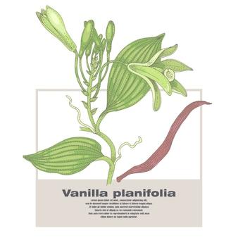 Illustrazione di piante di vaniglia.