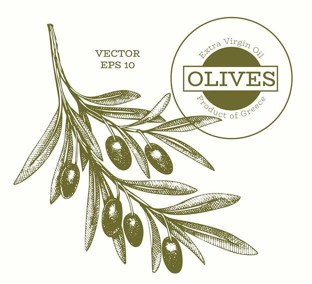 Illustrazione di rami di ulivo