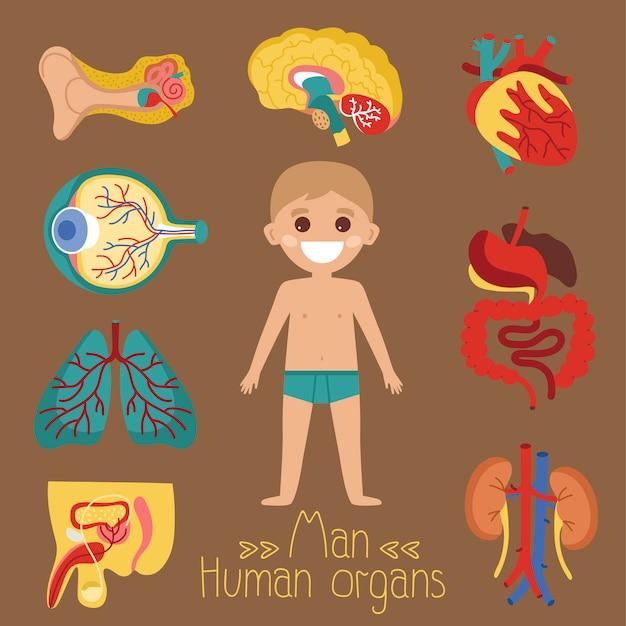 Illustrazione di salute maschile con organi umani