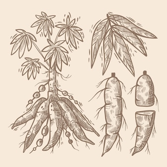 Illustrazione di tapioca disegnata a mano