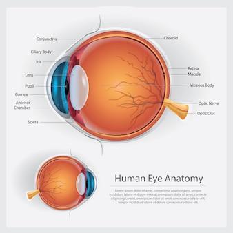 Illustrazione di vettore di anatomia dell'occhio umano