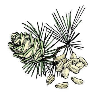 Illustrazione disegnata a mano del cono di cedro e dei pinoli.