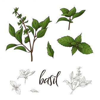 Illustrazione disegnata a mano dell'erba del basilico