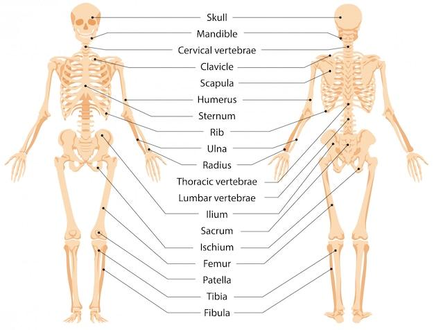 Illustrazione grafica di scheletro anatomico umano vista frontale e vista posteriore