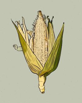 Illustrazione incisa annata della pannocchia. mais botanico. illustrazione
