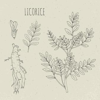 Illustrazione isolata botanica della liquirizia. pianta, foglie, radice, fiori disegnati a mano insieme. schizzo di contorno vintage