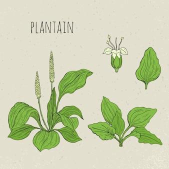 Illustrazione isolata botanica medica del plantano. pianta, foglie, fiori disegnati a mano insieme. schizzo vintage colorato.