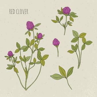 Illustrazione isolata botanica medica del trifoglio. pianta, foglie, fiori disegnati a mano insieme. schizzo vintage colorato.