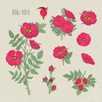 Illustrazione isolata botanica medica della rosa canina. pianta, fiori, frutta, foglie, set disegnati a mano. schizzo vintage colorato.