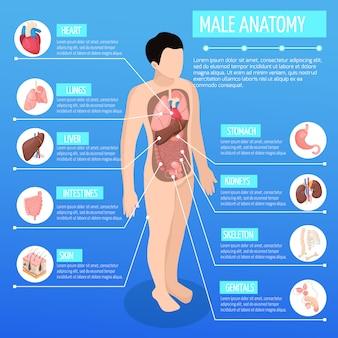 Illustrazione isometrica di anatomia maschile con modello infografico del corpo umano e descrizione degli organi interni