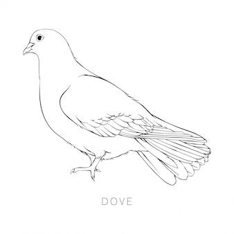 Illustrazione semplice della colomba di bellezza