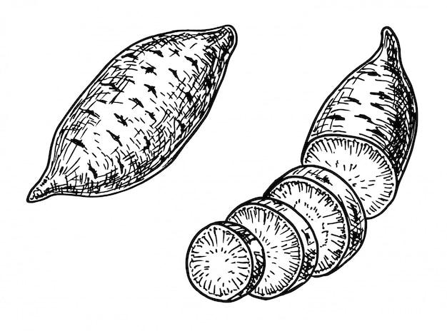 Illustrazione stabilita di patata dolce. oggetto in stile vegetale inciso.