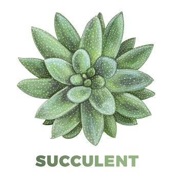 Illustrazione succulenta disegnata a mano realistica