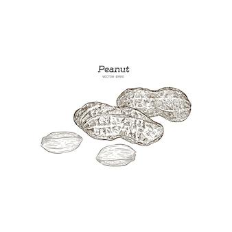 Illustrazione vettoriale set di arachidi