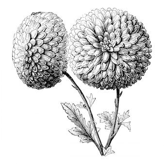 Illustrazioni d'annata dei fiori del crisantemo ricurvo dell'incisione