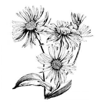 Illustrazioni d'annata del fiore di aster amellus bessarabicus dell'incisione