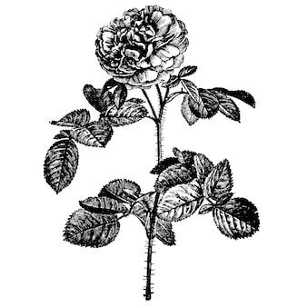 Illustrazioni d'annata delle rose dei fiori dell'incisione