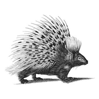 Illustrazioni d'epoca del porcospino