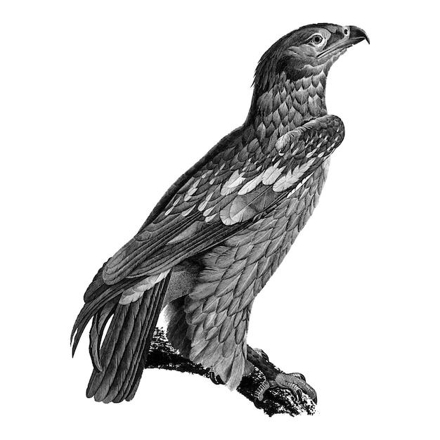 Illustrazioni d'epoca dell'aquila giovane maculata