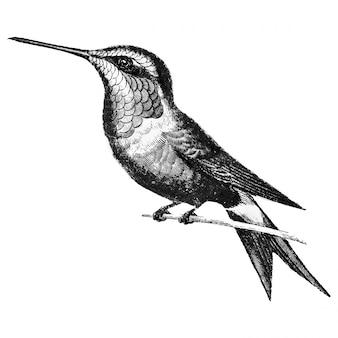 Illustrazioni d'epoca di amethyst woodestar