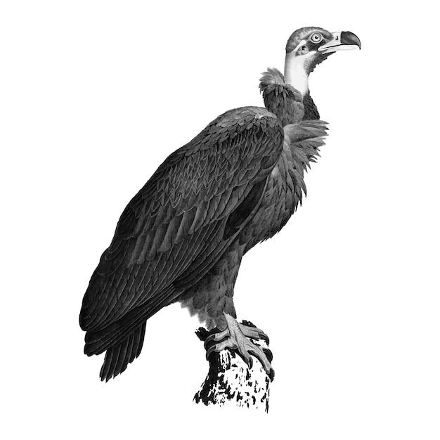 Illustrazioni d'epoca di avvoltoio marrone