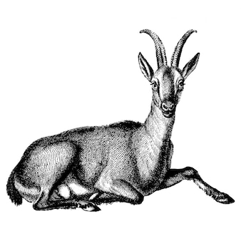 Illustrazioni d'epoca di capra selvatica
