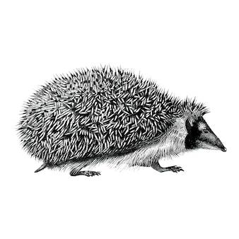 Illustrazioni d'epoca di hedgehog