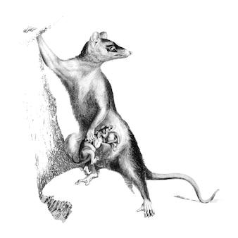 Illustrazioni d'epoca di opossum dalle grandi orecchie