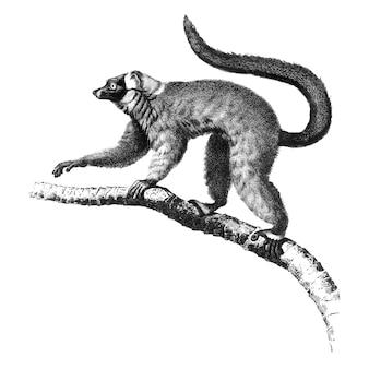 Illustrazioni d'epoca di rosso lemur ruffed