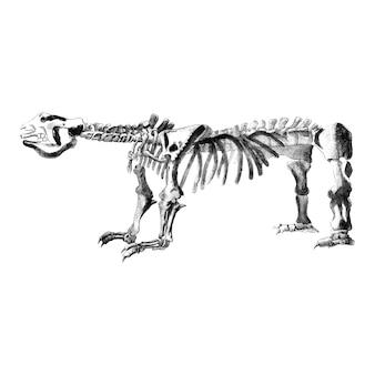 Illustrazioni d'epoca di strutture ossee di animali