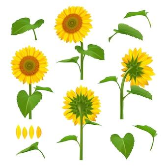 Illustrazioni di girasoli. girasoli gialli botanici di bellezza del giardino con le immagini floreali del fondo dei semi