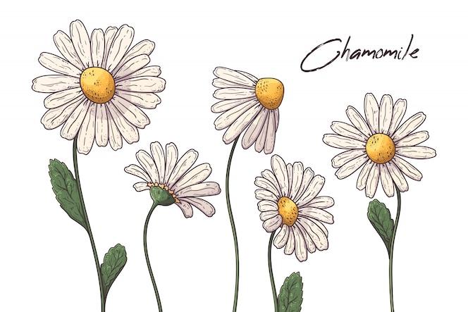 Illustrazioni floreali botaniche. fiori di camomilla.