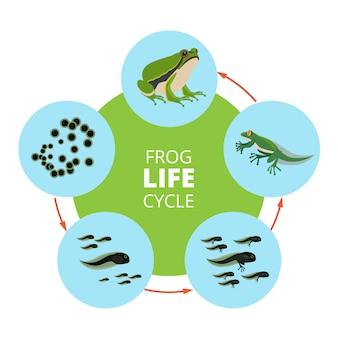 Illustrazioni infographic della natura del ciclo di vita della rana. le immagini di vettore della scuola isolano.