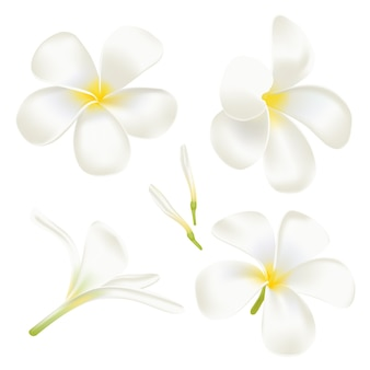 Impostare il fiore di frangipane bianco. perfetta illustrazione realistica. su sfondo bianco.