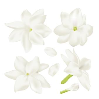 Impostare il fiore di gelsomino bianco