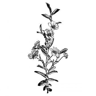 Incisione hibbertia fiori illustrazioni d'epoca