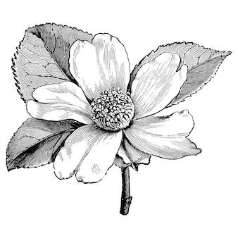 Incisione illustrazioni vintage di fiore camellia oleifera