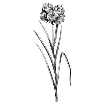 Incisione iris laevigata flore pleno fiori illustrazioni d'epoca