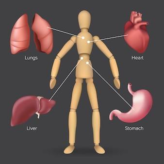 Infografica con organi interni umani: cuore, stomaco, fegato, polmoni posizionati su un manichino di legno.