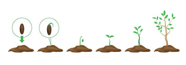 Infografica di piantine. fasi di crescita germogli verdi con foglie e terreno. semi germogliati