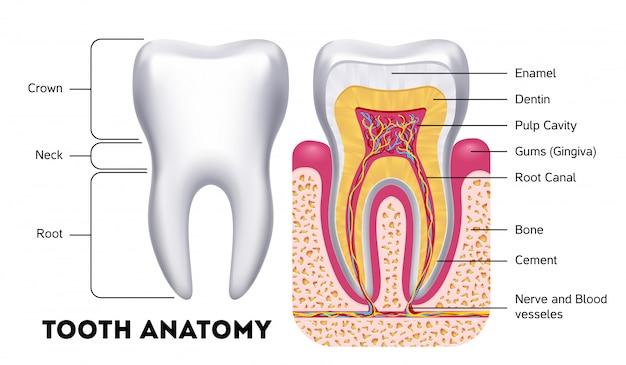 Infographics dentale di vettore di anatomia del dente