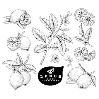 Insieme decorativo degli agrumi di schizzo di vettore. limone. illustrazioni botaniche disegnate a mano.