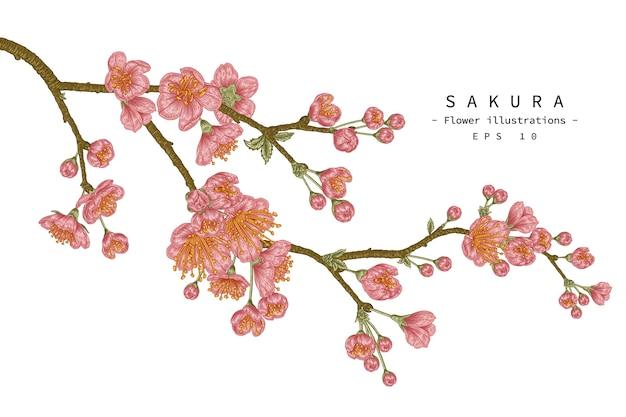 Insieme decorativo del fiore del fiore di ciliegia isolato su bianco
