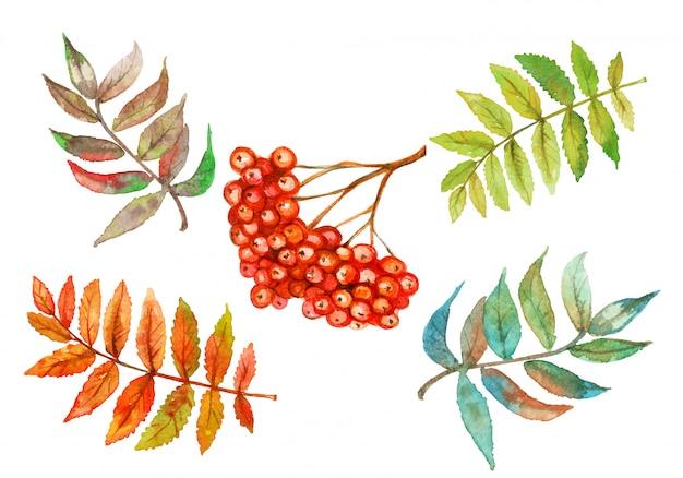 Insieme dell'acquerello delle bacche di sorbo e delle foglie di sorbo.