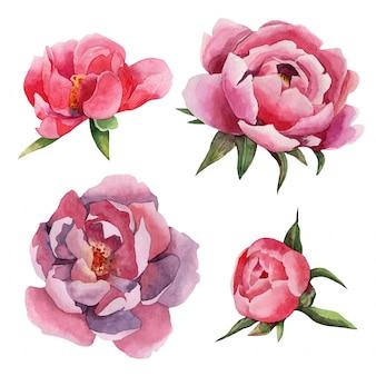 Insieme dell'acquerello disegnato a mano di fiori di peonie